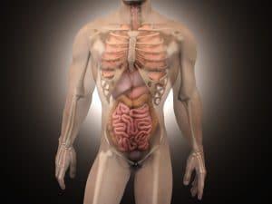 intestion avec une découpe corps humain en 3d
